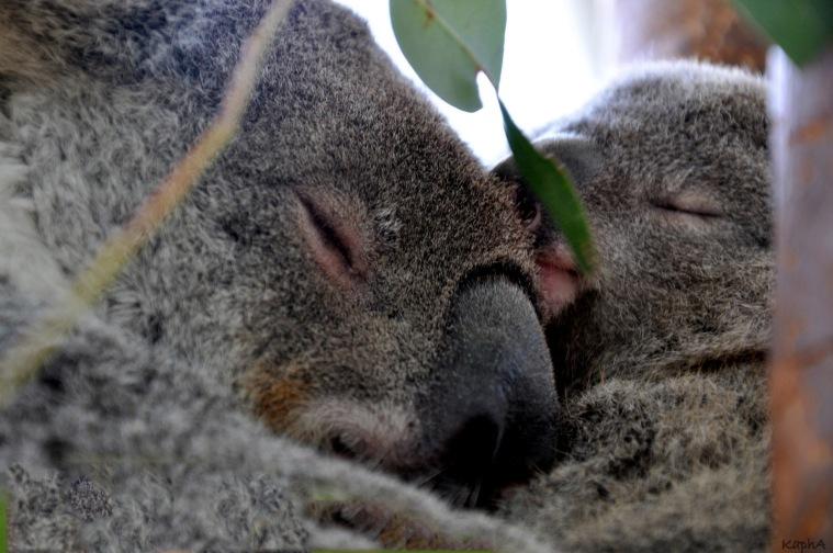 Koalamamma och bebis